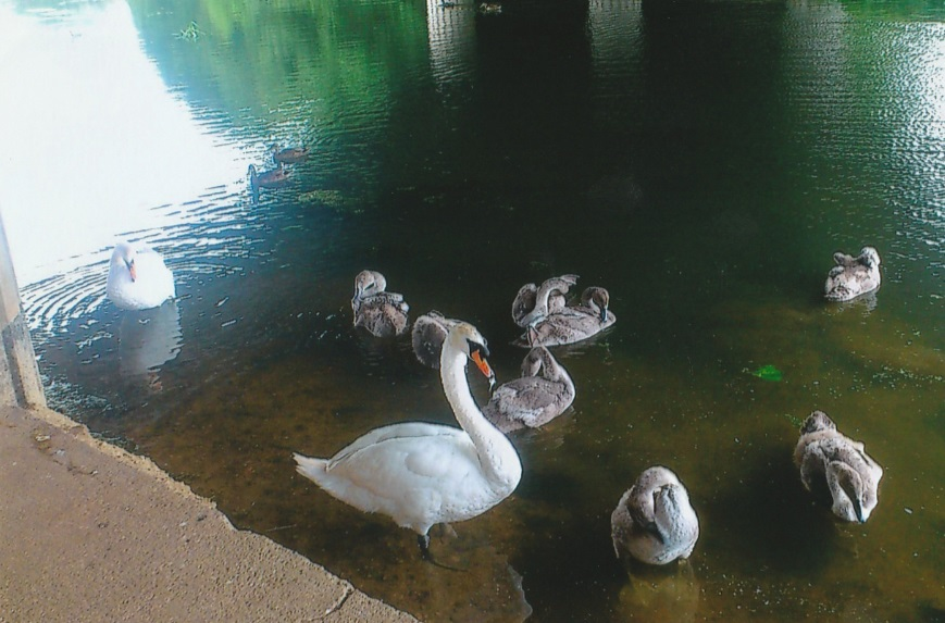 Winner number 3 - A swan with its babies on a lake